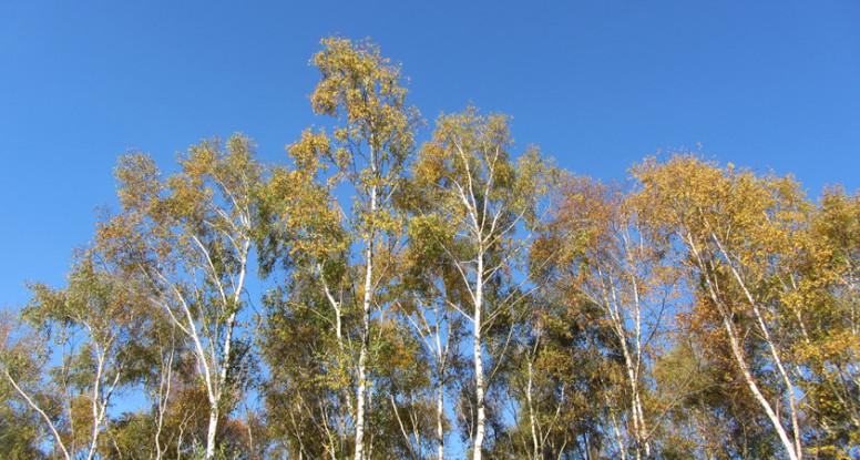 Berken en blauwe lucht