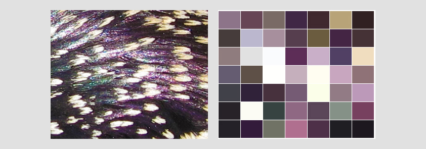 Spreeuwkleuren - Create a color palette from an image