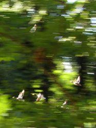 vliegende eenden 3
