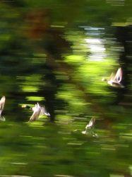 vliegende eenden 4