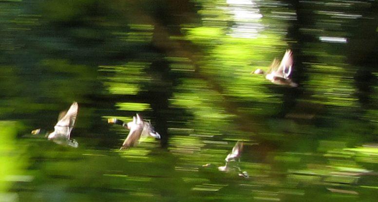 vliegende eenden blogfoto